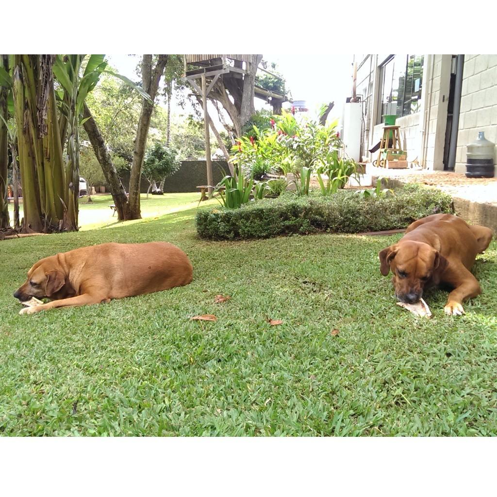 cadelas comendo osso
