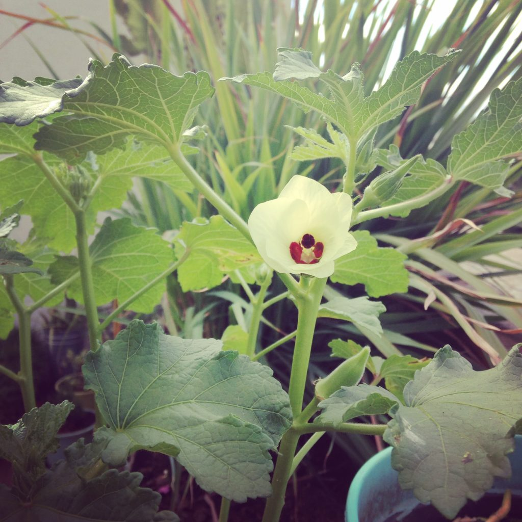 flor-de-quiabo