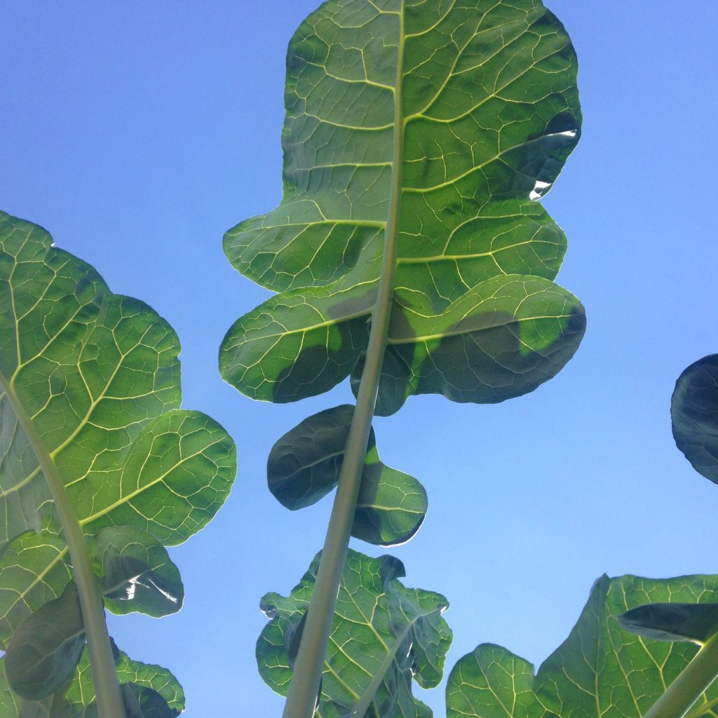 folha-de-brocolis
