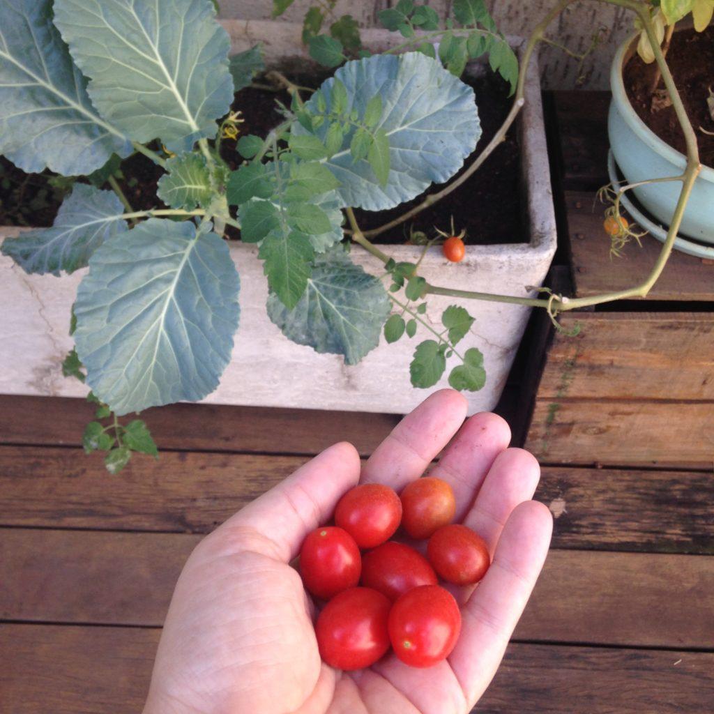 tomates-da-horta