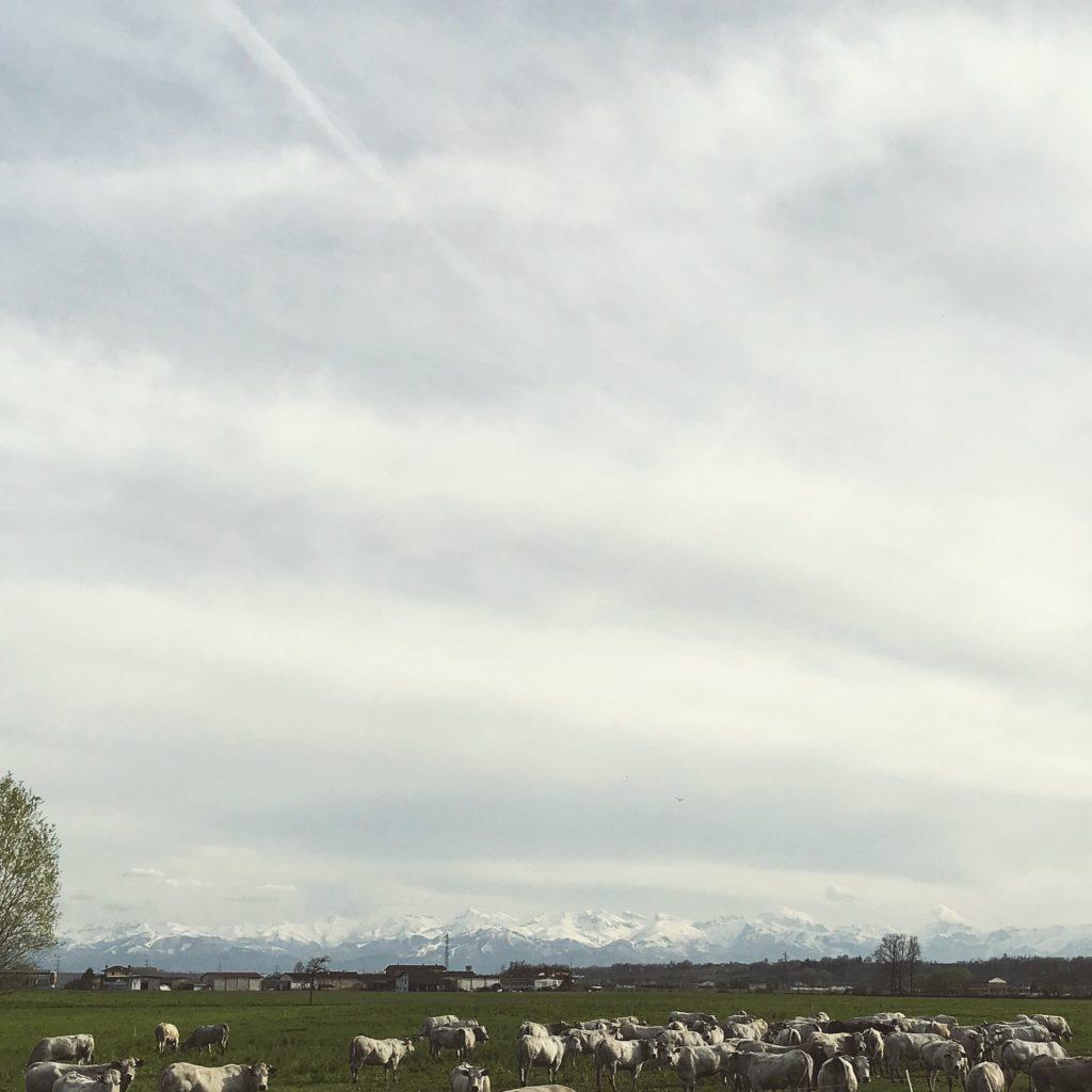 vacas e alpes na estrada 1